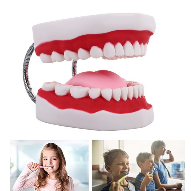 Specialized Tooth Model Nurse PVC Medical Model Dental Clinic Durable Dental Model Stomatology Nursing
