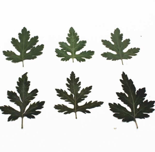 120pcs Pressed Dried Selaginella uncinata Filler For Epoxy Resin Jewelry Making Postcard Frame Phone Case Craft DIY