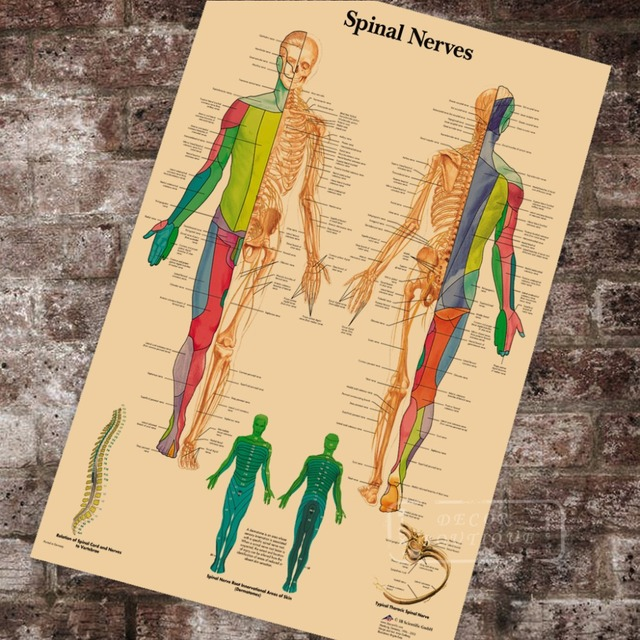 Anatomy Pathology Anatomical Spinal Nerves Chart Classic Canvas Paintings Vintage Wall Posters Stickers Home Decor Gift