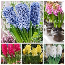 100 / pcs hyacinth bonsai, perennial hiacinth potted flower, indoor plant easy to grow in pots, bonsai flower plant for home gar